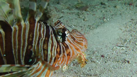 scorpaena : Devil firefish or Soldier lionfish (Pterois miles) stands on a sandy bottom and rotates with its eyes, portrait. Stock Footage