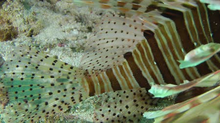 scorpaena : Devil firefish or Soldier lionfish (Pterois miles) moves the tail and fins, close up.