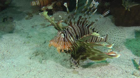 scorpaena : Devil firefish or Soldier lionfish (Pterois miles) lift from the sandy bottom and swims up leaves the frame, medium shot. Stock Footage