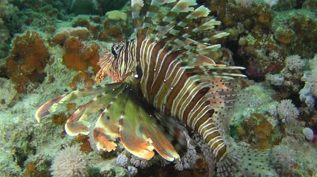 scorpionfish : Devil firefish or Soldier lionfish (Pterois miles) slowly rises to the upper edge of the reef, medium shot.