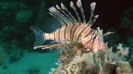 rana : Devil firefish or Soldier lionfish (Pterois miles) approaches the camera, then leaves the frame, medium shot. Stock Footage