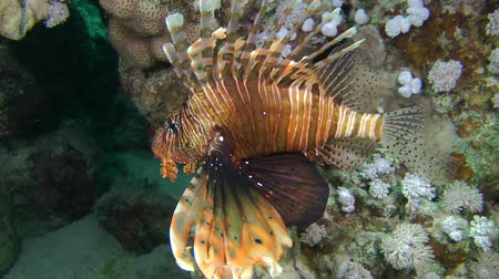 scorpaena : Devil firefish or Soldier lionfish (Pterois miles) against the background of a water surface, medium shot. Stock Footage