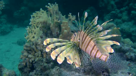 scorpaena : Devil firefish or Soldier lionfish (Pterois miles) swam to two more fish of this species, medium shot. Stock Footage
