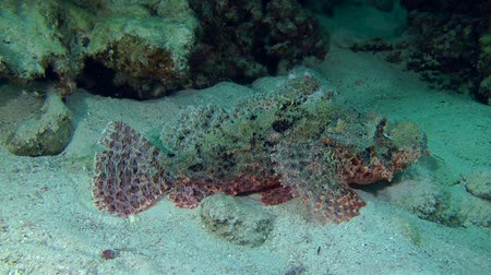 scorpionfish : Tassled scorpionfish (Scorpaenopsis oxycephala) lies at the bottom, then spreads the fins, medium shot.