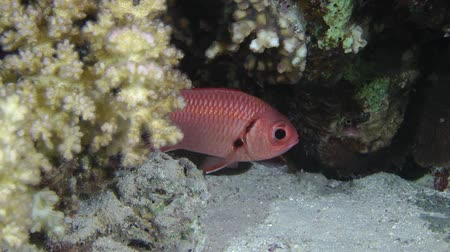 soldierfish : Pinecone soldierfish (Myripristis murdjan) appear from behind the coral bush, medium shot.