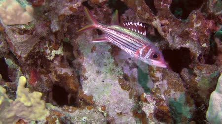 soldierfish : The camera approaches to the fish Sammara squirrelfish (Neoniphon sammara), which stands near the wall of the reef. Stock Footage