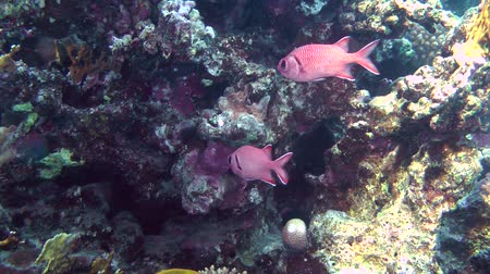 soldierfish : A pair of Pinecone soldierfish (Myripristis murdjan) stands near the wall of the reef, wide shot.