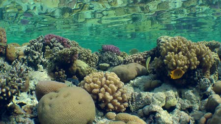 regal : Reflection of multicolor corals on the top of coral reef in a mirror of water surface. Stock Footage