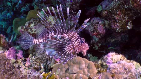 scorpaena : Devil firefish (Pterois miles) on a background of a coral reef.