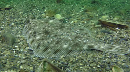 балтийский : Fish European flounder (Platichthys flesus) lies on the seabed, rear view and from above. Стоковые видеозаписи