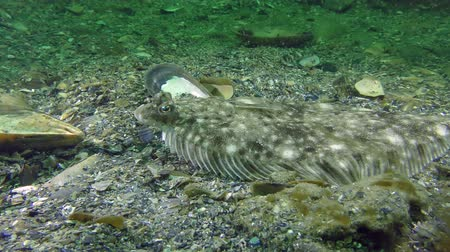балтийский : Fish European flounder (Platichthys flesus) lies on the seabed, side view.
