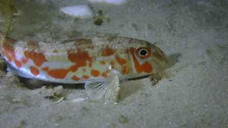 vasa : Fish Red mullet (Mullus barbatus) on a sandy bottom, medium shot.