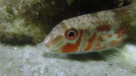 barbatus : Fish Red mullet (Mullus barbatus) on a sandy bottom, medium shot.