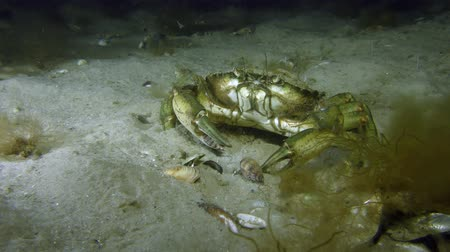 kerevit : Green crab or Shore crab (Carcinus maenas) sits on a sandy bottom. Stok Video