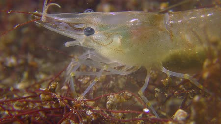 adspersus : Baltic prawn (Palaemon adspersus) is looking for food among the seaweed, close-up.