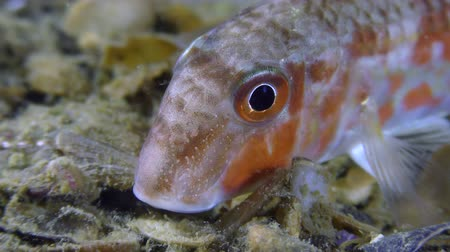 escarlate : Game-fish Red mullet (Mullus barbatus) lies on the bottom, then leaves the frame, close-up. Stock Footage