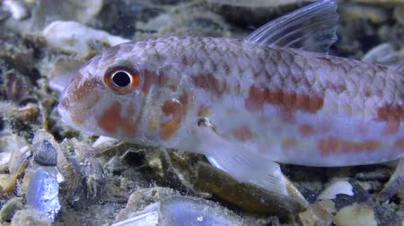 vasa : Sea fish Red mullet (Mullus barbatus) lies on the bottom, close-up. Stock Footage