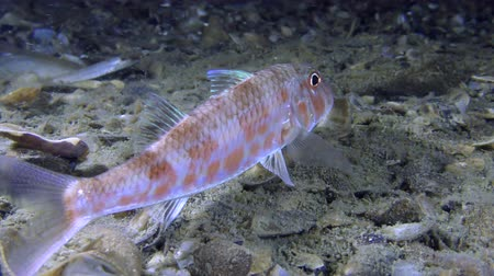vasa : Sea fish Red mullet (Mullus barbatus) lies on the bottom and stirs the dorsal fin, medium shot. Stock Footage