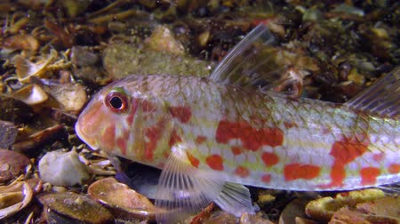 vasa : Game-fish Red mullet (Mullus barbatus) lies on the bottom, small plankton organisms float around, close-up. Stock Footage