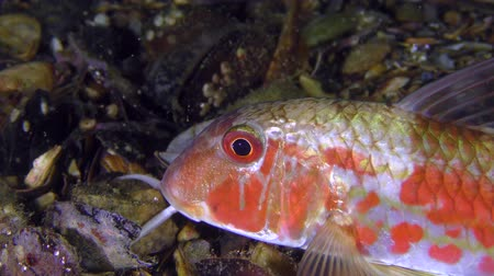 barbatus : Sea fish Red mullet (Mullus barbatus) lies on the bottom, small plankton organisms float around, portrait.