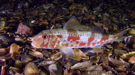 vasa : Sea fish Red mullet (Mullus barbatus) lies at the bottom, and around float small planktonic organisms, medium shot. Stock Footage
