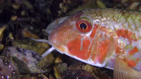 vasa : Game-fish Red mullet (Mullus barbatus) lies on the bottom, then leaves the frame, close-up. Stock Footage