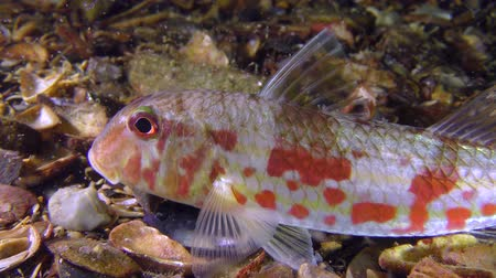 surmullet : Sea fish Red mullet (Mullus barbatus) lies on the bottom, then changes its position, medium shot. Stock Footage