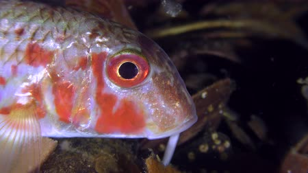 barbatus : Game-fish Red mullet (Mullus barbatus) lies on the bottom and rotates eyes, close-up.