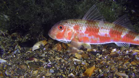 vasa : Sea fish Red mullet (Mullus barbatus) lies on the bottom next to algae thickets, medium shot. Stock Footage