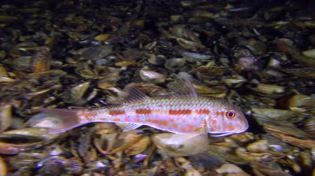 vasa : Sea fish Red mullet (Mullus barbatus) floats over the bottom covered with seashells, wide shot. Stock Footage