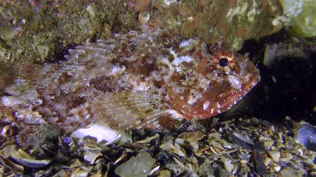 erythraea : Black scorpionfish (Scorpaena porcus) is almost invisible against the background of a stone, medium shot.