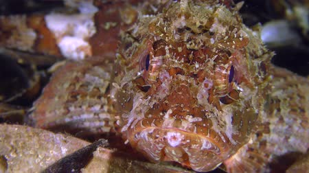erythraea : Portrait of a brightly colored Black scorpionfish (Scorpaena porcus), front view.