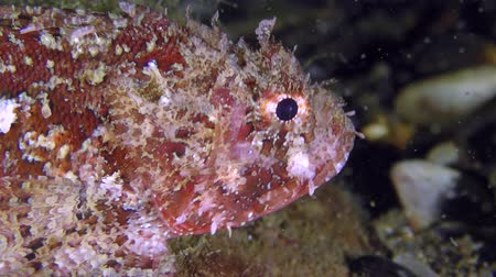 spearfishing : Poisonous fish Black scorpionfish (Scorpaena porcus) slowly crawls on the bottom on the pectoral fins, closeup. Stock Footage