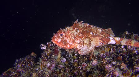erythraea : Bright red Scorpionfish (Scorpaena porcus) on a dark background of the water column. Stock Footage