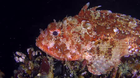 erythraea : Bright red Black scorpionfish (Scorpaena porcus) on a dark background of the water column, closeup.