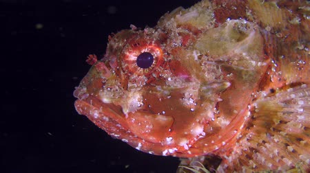 erythraea : Bright red scorpionfish (Scorpaena porcus) on a dark background of the water column, portrait.