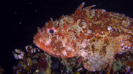 erythraea : Bright red Scorpionfish (Scorpaena porcus) lies on the top of the stone, then floats away into the dark, close-up. Stock Footage