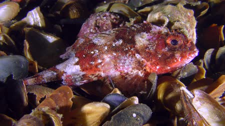 erythraea : Colorful Black scorpionfish (Scorpaena porcus) is looking for a convenient place among the shells, medium shot.
