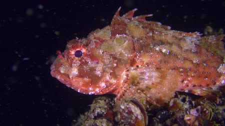 erythraea : The bright red Black scorpionfish (Scorpaena porcus) on the dark background of the water column stirs the fins, closeup.