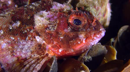 erythraea : Colorful Black scorpionfish (Scorpaena porcus) is looking for a convenient place among the shells, close-up. Stock Footage
