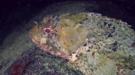 kalakeitto : Black scorpionfish (Scorpaena porcus) on top of stone, closeup. Stock Footage