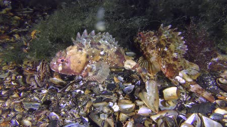 kalakeitto : Two Black scorpionfish (Scorpaena porcus) near seagrass beds, wide shot.