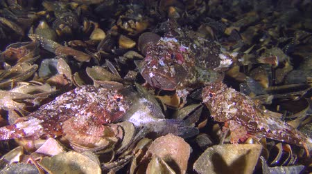 kalakeitto : Before spawning, Black scorpionfish (Scorpaena porcus) gather in groups (one large female and 2-3 small males).