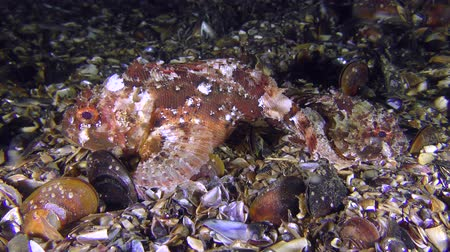 brune : Female and male Black scorpionfish (Scorpaena porcus) before spawning. Stock Footage
