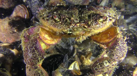 Reproduction of Warty crab or Yellow shore crab (Eriphia verrucosa): the female throwing eggs in the water column by abdomen moves, closeup.