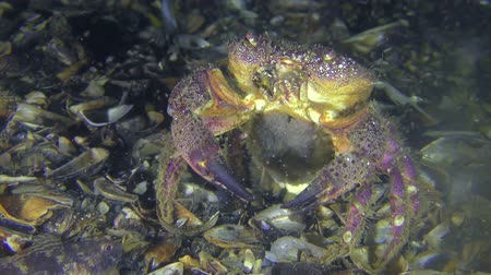 Spawning of crab (Eriphia verrucosa): the female throwing eggs into the water column by abdomen moves, front view. Dostupné videozáznamy