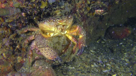 Spawning of crab (Eriphia verrucosa): the female sits on the rock and the movement of the abdomen throws.