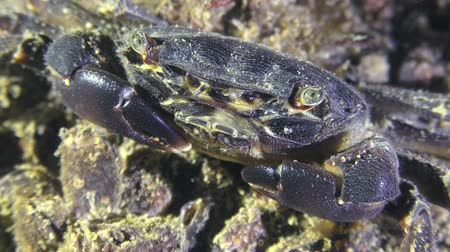 Marbled rock crab (Pachygrapsus marmoratus) on the seabed, closeup.