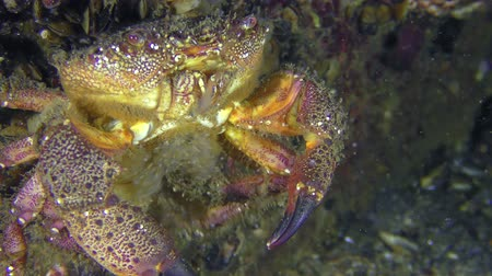 Reproduction of Warty crab or Yellow shore crab (Eriphia verrucosa): the female sits on the rock and by the abdomen throws eggs in the water column, closeup. Dostupné videozáznamy