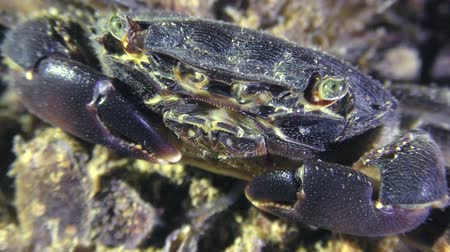 Marbled rock crab (Pachygrapsus marmoratus) on the seabed, portrait.
